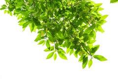 Folhas da mola da árvore branca do magnolia Fotografia de Stock