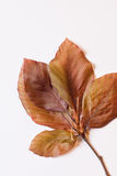 Folhas da mola da faia vermelha - ainda vida imagens de stock royalty free