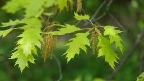 Folhas da mola e flores do carvalho vermelho do norte no vento claro, 4K filme