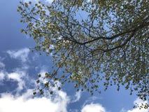 Folhas da mola na árvore de bordo Foto de Stock Royalty Free