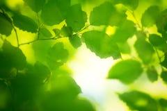Folhas da mola na luz da manhã Foto de Stock
