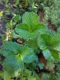 Folhas da morango imagens de stock royalty free