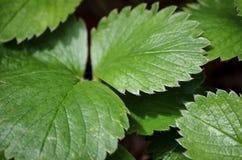 Folhas da morango Fotos de Stock