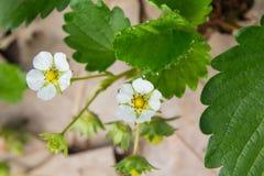 Folhas da morango com borrão fotografia de stock royalty free
