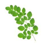 Folhas da moringa oleifera Fotografia de Stock Royalty Free