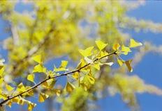 Folhas da nogueira-do-Japão fotos de stock