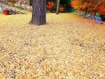 Folhas da nogueira-do-Japão foto de stock royalty free