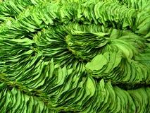 Folhas da noz de bétele Fotos de Stock