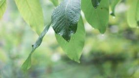 Folhas da noz durante a chuva video estoque