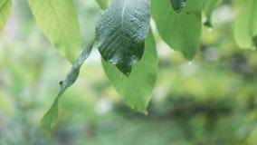 Folhas da noz durante a chuva vídeos de arquivo