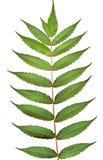 Folhas da noz preta Imagens de Stock