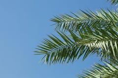 folhas da Palma-árvore Fotos de Stock Royalty Free