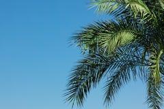 folhas da Palma-árvore Imagem de Stock Royalty Free