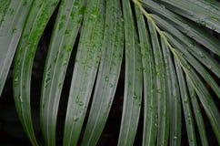 Folhas da palma do Nypa Imagens de Stock