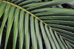 Folhas da palma do Nypa Fotografia de Stock Royalty Free