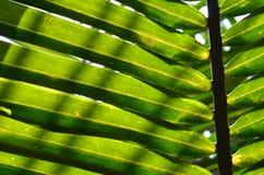 Folhas da palma do Nypa Imagem de Stock