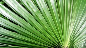 Folhas da palma que ventilam para fora Fotografia de Stock