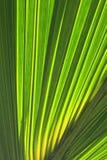 Folhas da palmeira Fotografia de Stock