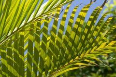 Folhas da palmeira imagem de stock royalty free