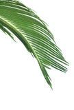 Folhas da palmeira Foto de Stock Royalty Free
