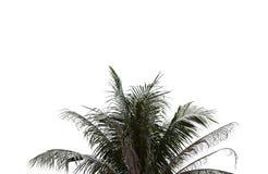 Folhas da palmeira no fundo isolado e branco Foto de Stock Royalty Free
