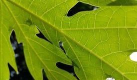 Folhas da papaia Imagem de Stock Royalty Free