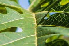 Folhas da papaia nas árvores Fotografia de Stock Royalty Free