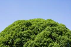 Folhas da parte superior da árvore no céu azul imagem de stock