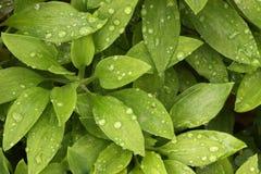 Folhas da planta & orvalho da manhã fotografia de stock