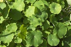 Folhas da planta da chagas Fotos de Stock