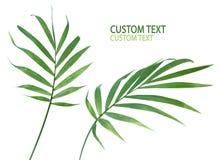 Folhas da planta da palma Imagens de Stock