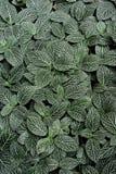 Folhas da planta de Fittonia Fotos de Stock Royalty Free