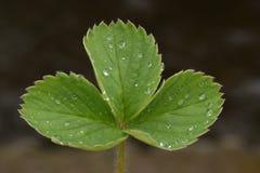 Folhas da planta de morango Imagens de Stock Royalty Free