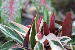 Folhas da planta de ostra fotografia de stock