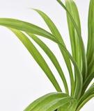 Folhas da planta de Pandan Feash Fotos de Stock