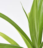 Folhas da planta de Pandan Feash Imagens de Stock Royalty Free