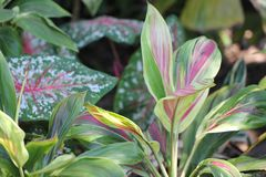 Folhas da planta do si em Florida sul fotografia de stock
