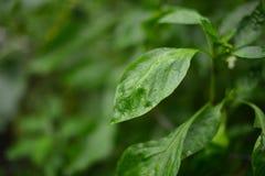 Folhas da planta do Zinnia Imagem de Stock