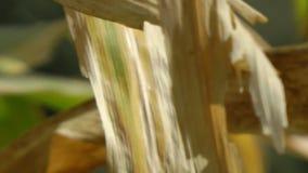 Folhas da planta da espiga de milho video estoque