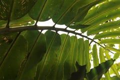 Folhas da planta tropical Fotografia de Stock Royalty Free