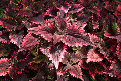 Folhas da planta tropical (Coleus) imagens de stock