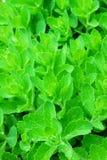 Folhas da planta verde Imagens de Stock Royalty Free
