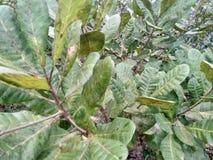 Folhas da porca de caju Fotos de Stock