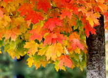 Folhas da queda Fotos de Stock Royalty Free
