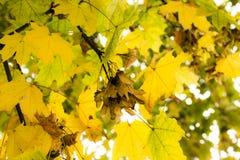 Folhas da queda Imagens de Stock