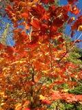 Folhas da queda Foto de Stock Royalty Free