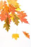 Folhas da queda & fundo branco Imagens de Stock Royalty Free