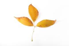 Folhas da queda da árvore de olmo islolated Foto de Stock