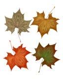 Folhas da queda do outono isoladas no branco Foto de Stock Royalty Free