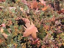 Folhas da queda em arbustos Fotos de Stock Royalty Free